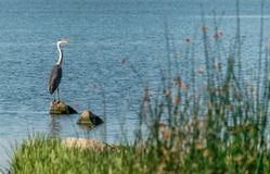 The big bird of a gray heron stands on a rock in blue water on a sunny day. Ukraine, Kakhovskoe reservoir. Beautiful natural backg stock photography