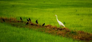 Local white bird and Mynas birds living in the organic rice field in countryside of Thailand. Big bird, Great egret and mynas birds living in organic rice field stock photo