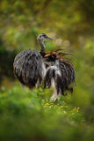 Big bird Greater Rhea, Rhea americana, with fluffy feathers, Pantanal, Brazil Stock Images
