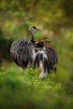 Big bird Greater Rhea, Rhea americana, with fluffy feathers, Pantanal, Brazil Stock Images