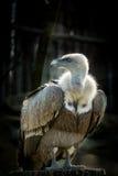 Big bird Griffon vulture Royalty Free Stock Photo
