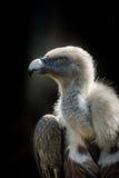 Big bird Griffon vulture Stock Photo