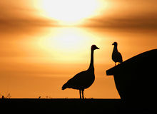 Big Bird Little Bird. Canadian goose and seagull looking at each other Royalty Free Stock Images