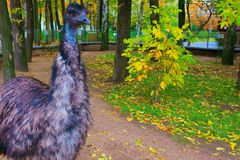 Big bird ostrich emu. Beautiful big bird Australian ostrich emus Royalty Free Stock Images