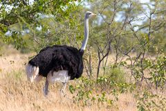 Ostrich, in Etosha, Africa wildlife safari. Big bird, Ostrich male Struthio camelus in natural habitat Etosha, Namibia wildlife safari stock images