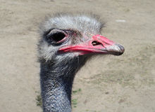 Big bird ostrich Royalty Free Stock Photography