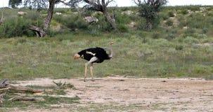 Ostrich in green Kalahari, Africa wildlife safari. Big bird Ostrich, Struthio camelus, in green Kalahari after rain season. Kgalagadi National Park, South Africa stock video footage