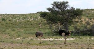Ostrich in green Kalahari, Africa wildlife safari. Big bird Ostrich, Struthio camelus, in green Kalahari after rain season. Kgalagadi National Park, South Africa stock footage