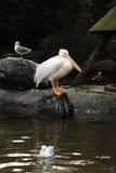 Big bird pelican Stock Photo