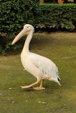Big bird pelican Royalty Free Stock Images