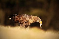 Big bird of prey White-tailed Eagle with catch fish sitting on the meadow with nice sun light Stock Image