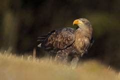 Big bird of prey White-tailed Eagle sitting on the meadow with nice sun light Stock Image