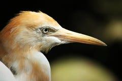 Big Bird's Face Stock Images