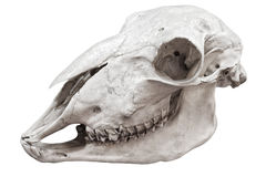 Big bird skull Royalty Free Stock Images