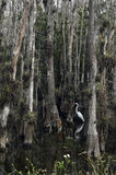 Big bird between the trees, Everglades, Florida USA Stock Images