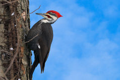 Big bird Woodpecker with red head Royalty Free Stock Photography