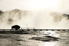 Big Bison on grand prismatic at Yellowstone. Background big bison walk across grand prismatic at Yellowstone on October Royalty Free Stock Photography