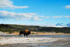 Big Bison on grand prismatic at Yellowstone. Big Bison walk across on grand prismatic at Yellowstone Stock Photography
