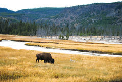 Big Bison on grassland. A big bison stand on grassland at Yellowstone Stock Photos