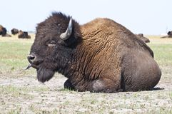 Big bison in the steppe stock images