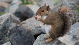 Big bite-Squirrel. Squirrel on rocky shore eating a big piece of bread stock image