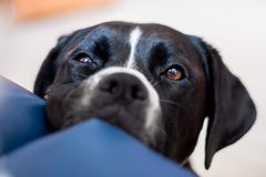 A big black Amstaff type dog looks gently towards the camera