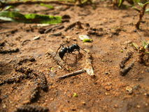 Big black ant on dirty sand in Swaziland Royalty Free Stock Photography