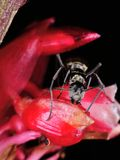 Big black ant on red flower Stock Photography