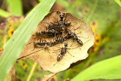 Big black ants protecting eggs Stock Photo