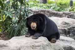 Big Black Bear Stock Photo