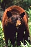 Big Black Bear. A big cinnamon color phased black bear Stock Photos
