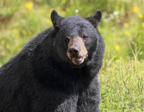 Big black bear Stock Photography