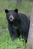 Big Black Bear. Big female Black Bear standing by spruce tree, watching stock photography