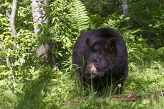 Big Black Bear in forest. Big Black bear standing at the forest opening in green ferns Royalty Free Stock Images