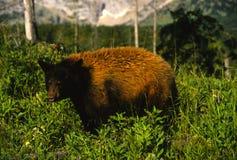 Big Black Bear on Mountainside Royalty Free Stock Photo