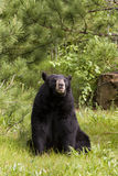 Big Black Bear in Sitting Position Royalty Free Stock Photos