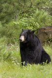 Big Black Bear in Sitting Position Stock Image