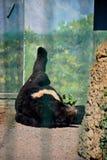 Big black bear sleeps in the sun. Summer, Odessa, Ukraine, 2018 stock images
