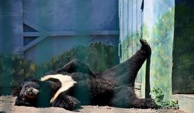 Big black bear sleeps in the sun. Summer, Odessa, Ukraine, 2018 stock photos