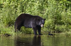 A Big Black bear Ursus americanus walking into the water in summer in Canada. Big Black bear Ursus americanus walking into the water in summer in Canada royalty free stock photos