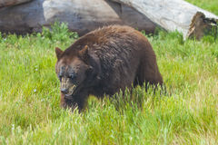 Big black bear Royalty Free Stock Photography