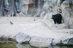Big black bear watching the raven at the Zoo in Kiev stock photography