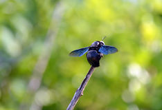 Big black bee color flying insects sitting on a twig Stock Photos