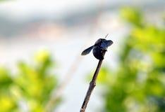 Big black bee  Royalty Free Stock Photos