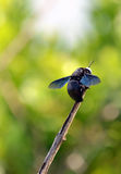 Big black bee color flying insects vertical photo Stock Image
