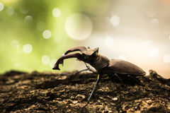Big black beetle with horns Royalty Free Stock Image