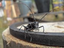 Big black beetle with long mustache. royalty free stock photos
