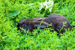 Big black with brown rabbit walks on a green lawn. royalty free stock photos