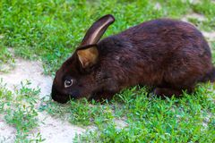 Big black with brown rabbit walks on a green lawn. stock photography