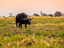 Big black buffalo Stock Photo